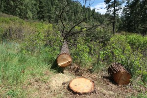 This was an eighty-year-old ponderosa that the Forest Service took down to obliterate the Long Hollow Trail.
