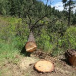 Trail+live trees obliterated by Forest Service, Trails 2000 and San Juan Citizens Alliance