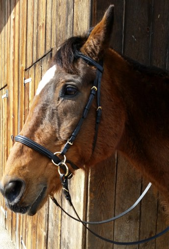 Wesley's bitless bridle according to Dr. Cook
