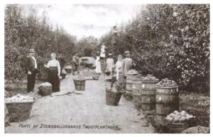 Frugthøst på Stensballegaard i slutningen af 1800-tallet