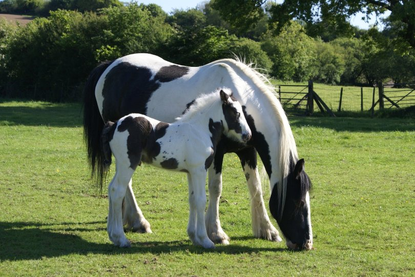 mare and foal horses