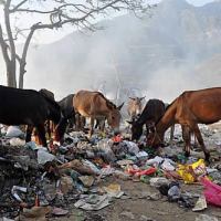 These animals are scavenging for food after a long work day in India.