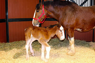 Meet the Newest Budweiser Clydesdale