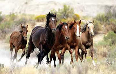 Stop Wild Horse Wipeout in Wyoming
