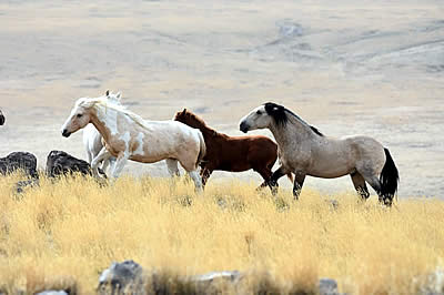Saylor Creek Wild Horses Legal Win May Protect Other Herds from Being Sterilized