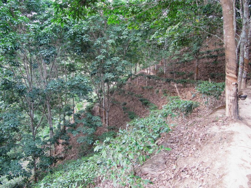 youle-tai-di-and-rubber-plantation