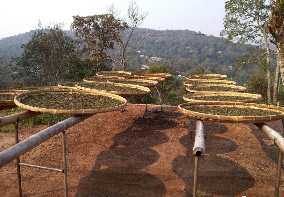 drying early spring tea Ma Li Shu