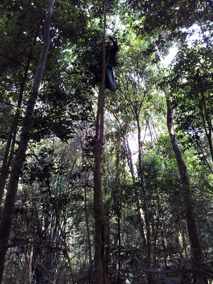 picking wild Puer tea in the forest