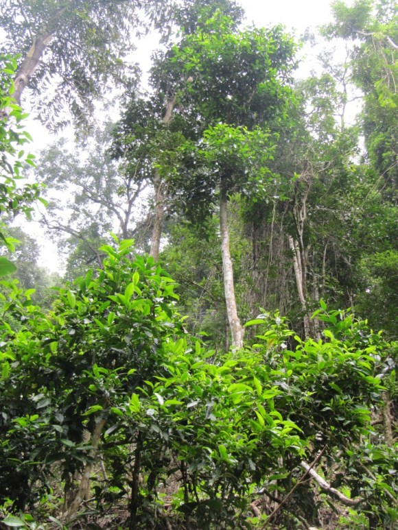 tea trees in the wild