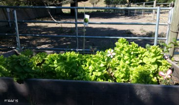 Lettuce getting ready to go to seed.