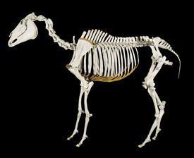 Phar Lap's skeleton at Te Papa