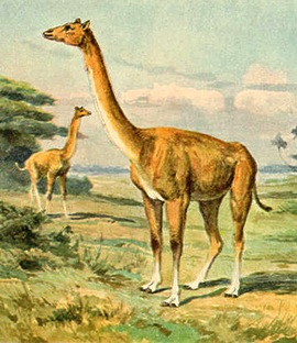 Aepycamelus is a relative of the camel that was about 10 feet tall, weighed about 1,200 pounds and lived during the Miocene (23 to 5 million years ago).