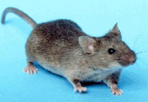 Rodents around stables and feed stores - Features