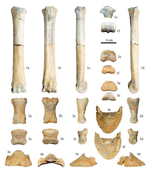 The fore foot bones of the Zanda horse.