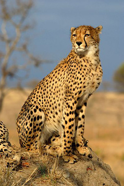 The cheetah is by far the fastest land animal.