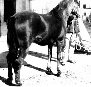 A horse with cutaneous nodules of glanders on the legs.