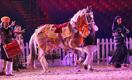Marwari horse in rehearsal for Royal Windsor.