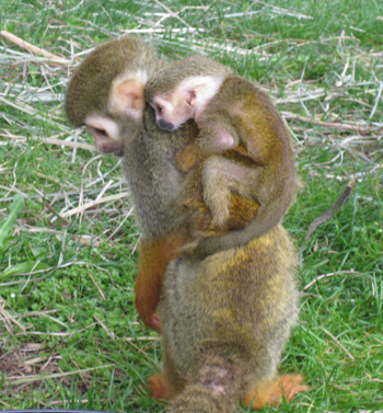 Squirrel Monkey mother MJ and her new baby.