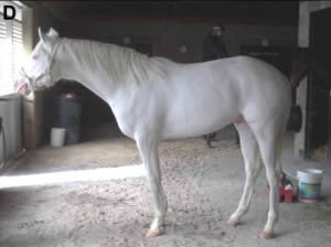 A dominant white thoroughbred stallion.