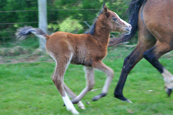 Rhodococcus equi can cause a lethal form of equine pneumonia in foals.