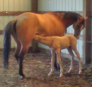 The orphaned foal has been successfully matched with a nursing mare.