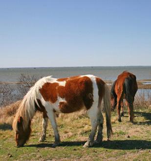 Legend says the Assateague horses swam ashore from La Galga in 1750.