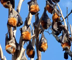 Roosting Grey-headed flying-foxes