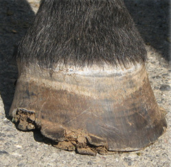 Distal hoof wall lesions, characteristic of HWWS.