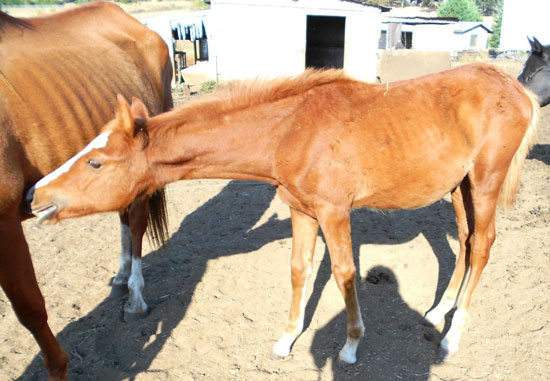 Investigators say the foal's condition was rapidly deteriorating.