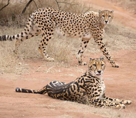 The spots displayed by a typical cheetah (standing), compared with the blotched pattern of king cheetahs.