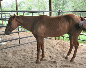 A horse with laminitis.