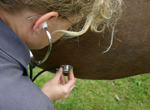 Listening for gut noises: The current activity of the digestive tract will be important to a veterinarian deciding the type of colic affecting a horse and the appropriate treatment.