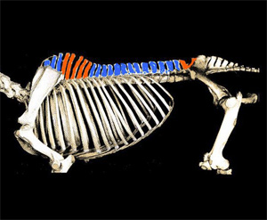 In this picture we colored in red the vertebrae gaining mobility when the neck is lowered, and in blue the vertebrae losing or not gaining mobility when the neck is lowered).