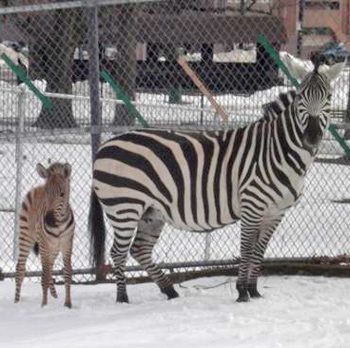 Nemo checks out the snow with his mum, Cheyenne.