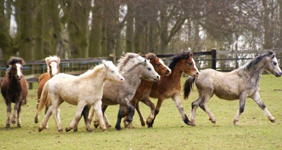 The Animal Health Trust's research used 89 positive samples from British outbreaks where the horses had been confirmed as infected with Streptococcus equi, and compared them with 129 negative samples from Icelandic resident horses.