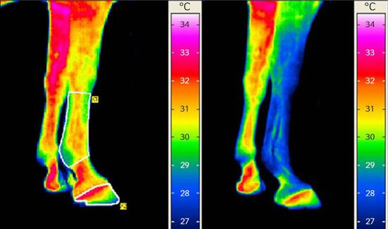 Thermographic images of a horse's forelegs; no draught (left) and draught of 1.3 to 2.6 metres per second (right). After 2:30 minutes the right hand leg has cooled down considerably.