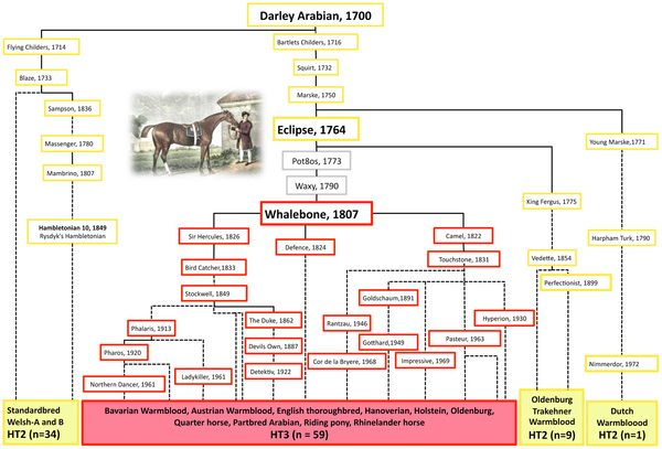 "Pedigree of Darley Arabian's progeny depicting the origin of HT3 from HT2. Breeds of analysed males are listed on the bottom and the haplotypes of their ancestors are reconstructed (HT2-yellow, HT3-red, unknown-grey). Selected famous stallions are shown by name; dotted lines connect relatives where at least one ancestor is omitted. No descendants from ""Pot8os"" and ""Waxy"" were available apart from ""Whalebone, 1807"". The mutation leading to HT3 must have occurred either in the germline of stallion ""Eclipse"" [54] or in his son ""Pot8os"" or in his grandson ""Waxy"" and rose to very high frequency in the English Thoroughbred and many sport horse breeds through the progeny of the stallion ""Whalebone""."