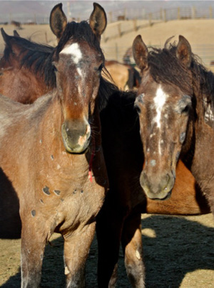 Strangles and fungal skin infections have affected the wild horses being held.