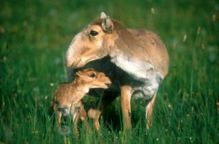 A new study by the Wildlife Conservation Society and Snow Leopard Trust reveals that some of Central Asia's most spectacular and least-known large mammals, including the saiga (pictured), are being adversely affected by a sharp increase in goat herds for the cashmere trade.