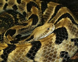 The timber rattlesnake, Crotalus horridus. Photo: Tad Arensmeier/Wikipedia