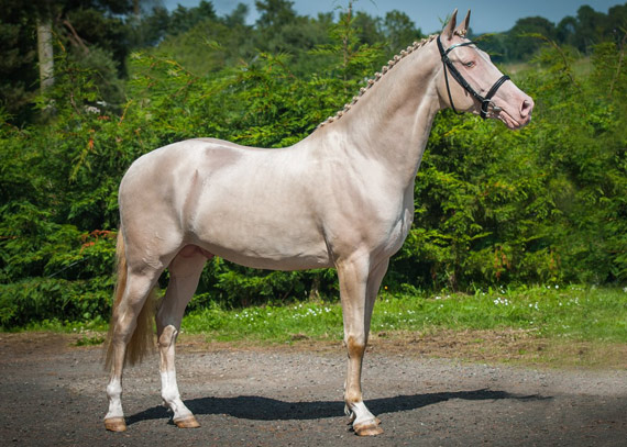 The British-based Akhal Teke stallion Kambaray.