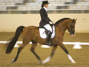 Purebred son Aleros+/, a breeding stallion competing at Grand Prix in open dressage shows.