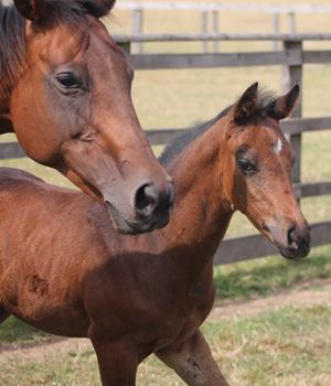 foal-stock