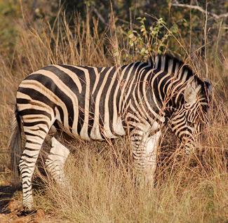 Zebras in the Botswana's Okavango Delta undertake a 360-mile (580-kilometre) round trip to the Makgadikgadi Salt Pan. It is the second-longest zebra migration on Earth.