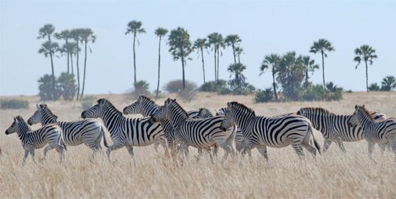 Zebra in the Makgadikgadi grasslands.