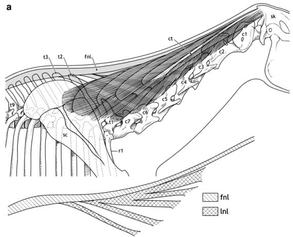 Head and neck anatomy: Structures of the dorsal neck in an alert head position in Equus caballus: cranial thoracic and cervical vertebrae (solid lines), nuchal ligament, both funicular and lamellar (light gray shading), semispinalis capitis muscle (darker gray shading). Note central tendon and elaborate compartmentalization of semispinalis muscle. Muscle fiber direction in solid lines. ct, central tendon of semispinalis muscle; c1–c7, cervical vertebrae; fnl, funicular nuchal ligament; lnl, lamellar nuchal ligament; r, rib; sc, scapula; sk, skull; t1–t9, thoracic vertebrae.