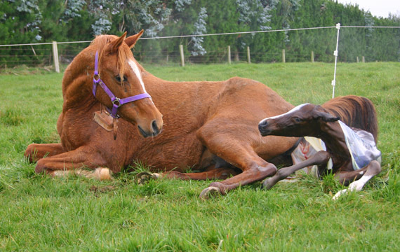 Foals are born with diverse gut bacteria, researchers report.