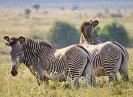 Grevy's zebra are an endangered species with fewer than 2500 individuals in the wild.