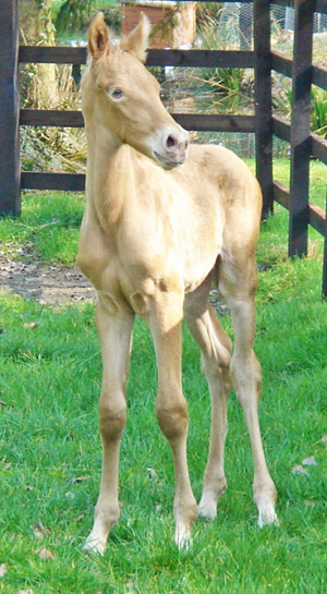 Oro as a foal. His green eyes have changed to hazel.