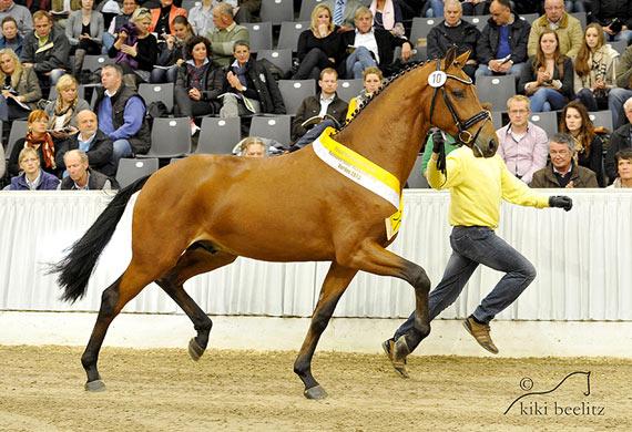 Damsey's Son Dream Maker is among the stallions Licensed at the Hanoveraner Körung in Verden.